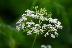 強風の白い野草