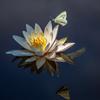 睡蓮と白い蝶々