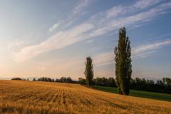 刈り取り間近の秋蒔き小麦