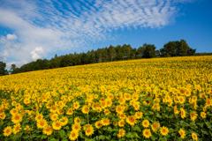 丘の向日葵畑