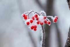 ナナカマド  の樹氷