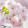 強風で帽子が何度も飛んでゆく八重桜
