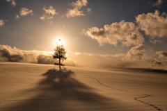 君が夕陽の木と呼ばれる訳
