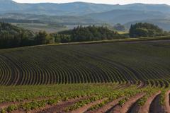 ジャガイモ畑の畝