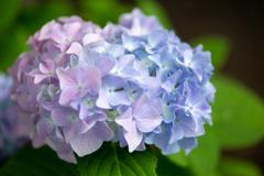 日陰の紫陽花