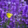 ラベンダーと黄色い蝶々