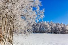 青空と白樺林の樹氷