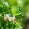今日一癒されたエンドウの花