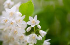 お花は白と