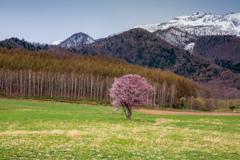 富良野一本桜