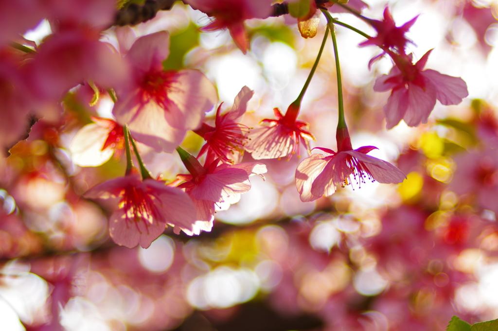 【試し撮り】河津桜