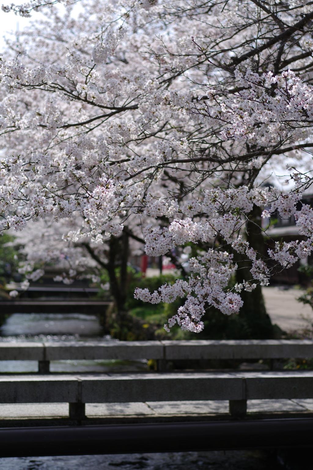 滋賀県醒ヶ井 地蔵川の桜