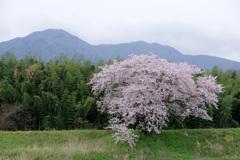 お気に入りの桜
