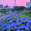 「紫陽花・旧中川」