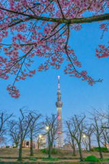 「隅田公園の河津桜」