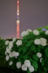 「白い紫陽花」