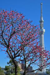 「梅と東京スカイツリー」