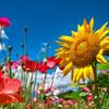 ヒナゲシと太陽の花