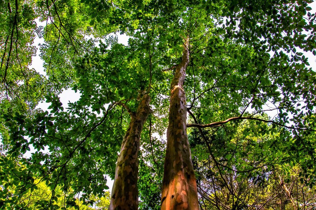 姫沙羅の木陰