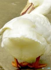 Ass of duck ~おしりふりふり~