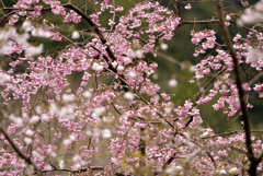 長谷寺の春2020