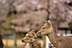 奈良公園の春