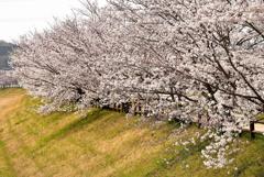 川沿いには桜がよく似合う