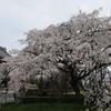 行福寺のしだれ桜②