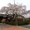 源空院のしだれ桜