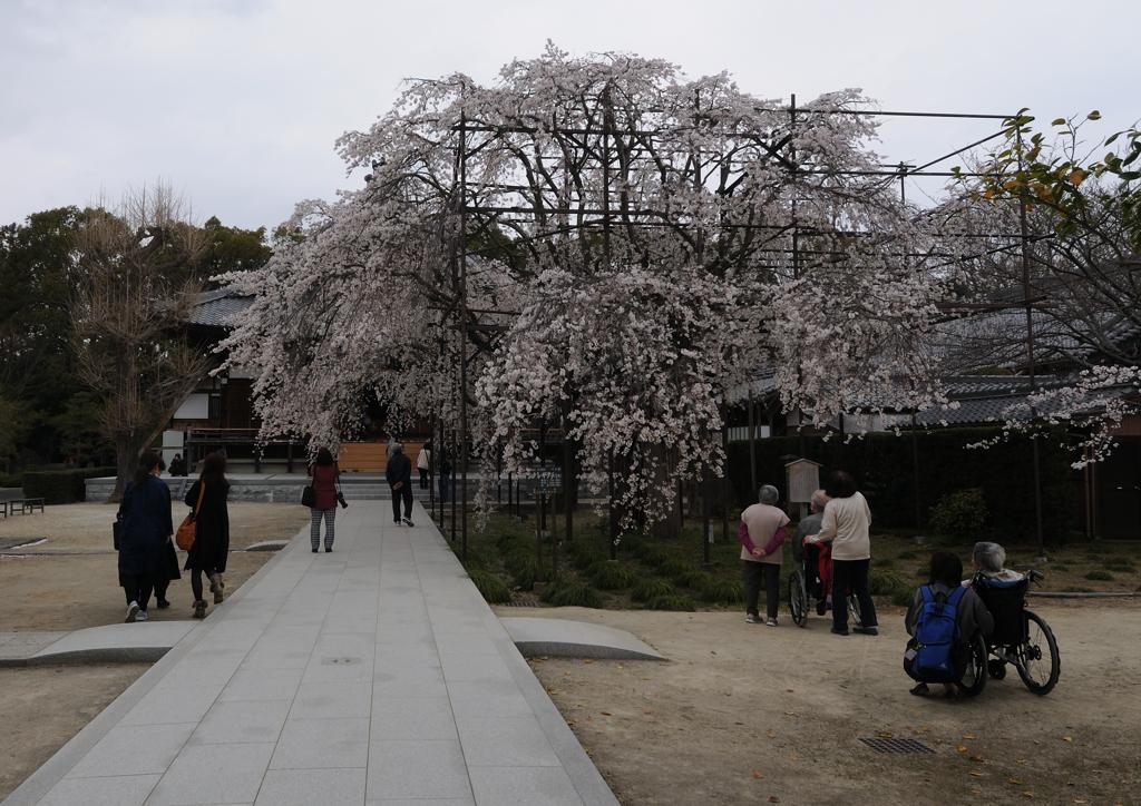 行福寺のしだれ桜①