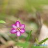 Spring ephemeral ①