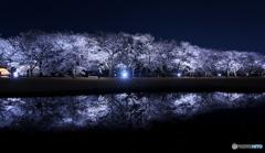 夜桜ライトアップ ①