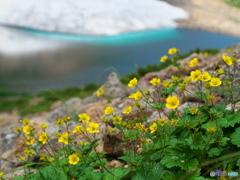 青い池と黄色い花
