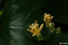夏山の花(タマガワホトトギス)