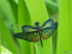 図鑑的 蝶蜻蛉