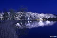 夜桜ライトアップ ②