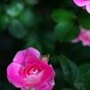 Fresh Rose ①