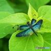 標本的 蝶蜻蛉