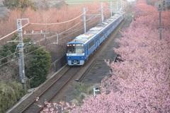 河津桜と京急(青車両)