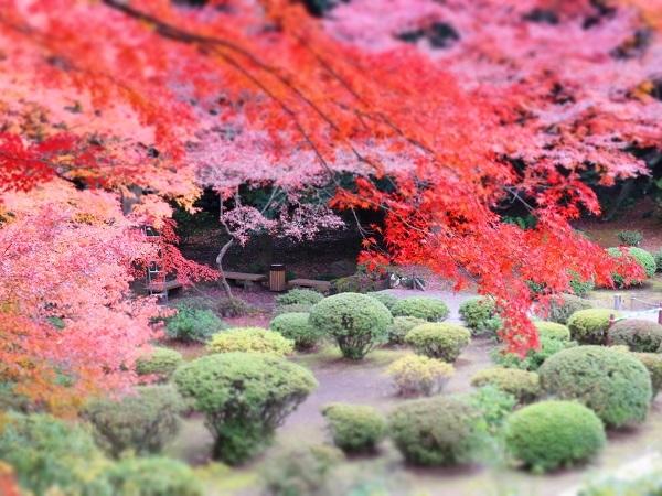 旧古河庭園の紅葉②