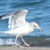 海辺の鳥⑧