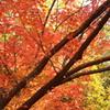 六義園の紅葉④