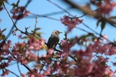 河津桜と鳥