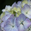 紫陽花2021③