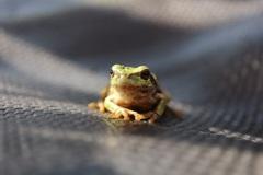 冬眠前の蛙
