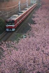 河津桜と京急(赤車両)