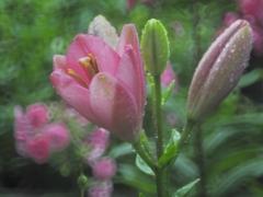 雨に開く花