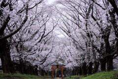 桜吹雪を見てみたい