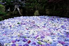 紫陽花水中花