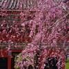 枝垂桜と仁王門